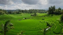 rice-terraces-384665 1920