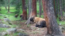 Takin bhutan national animal-WIKIMEDIA
