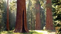 sequoias-en-yosemite